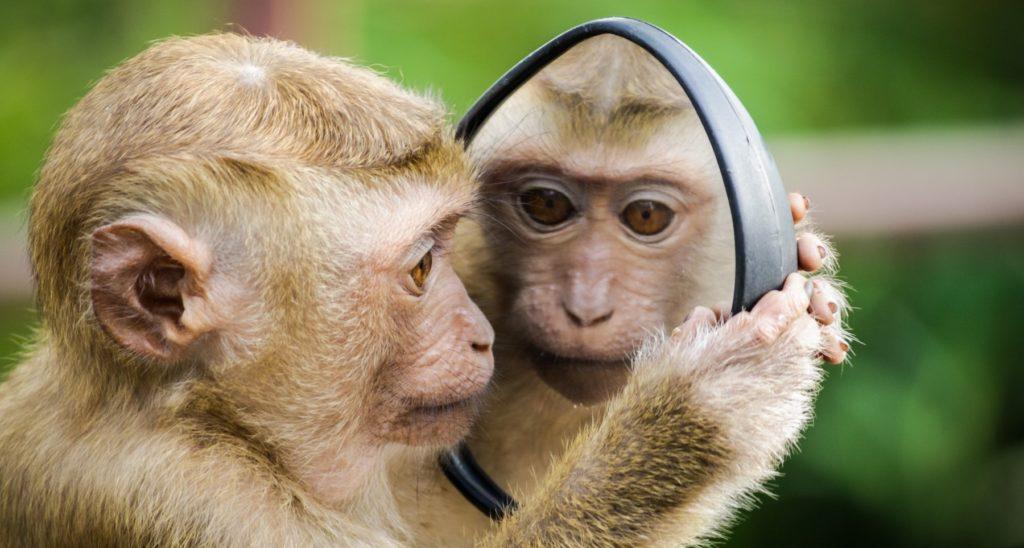 Kleiner Affe schaut sich selbst im Handspiegel an.