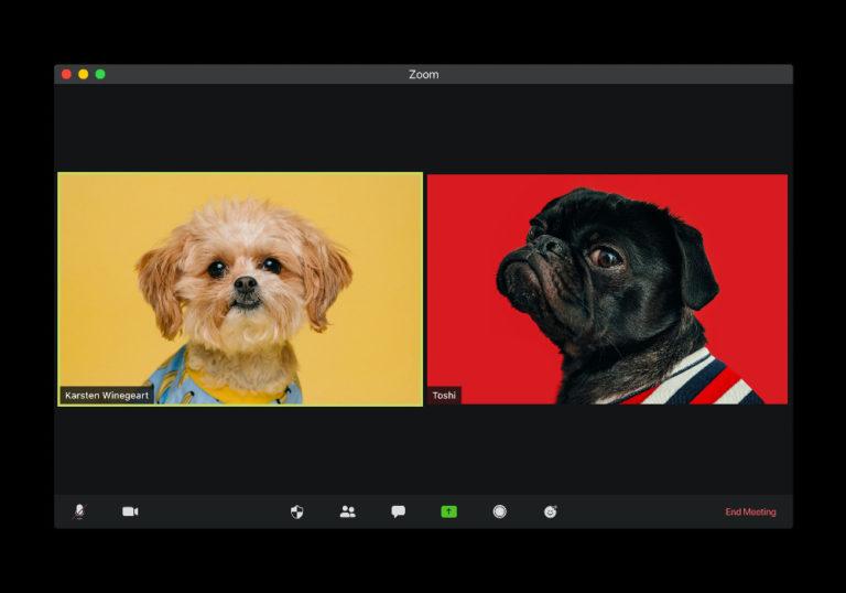 In einem Videokonferenzraum sind zwei Teilnehmende zu sehen. Ein kleiner beiger Hund vor gelber Wand, und eine französische Bulldogge vor einem roten Hintergrund.