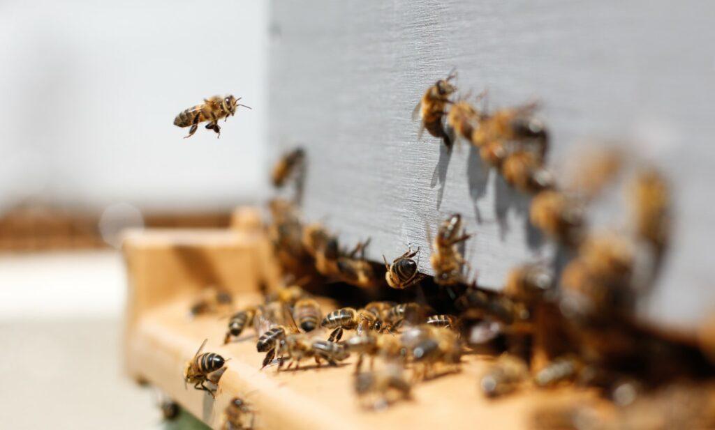 Ein Bienenschwarm krabbelt und fliegt herum