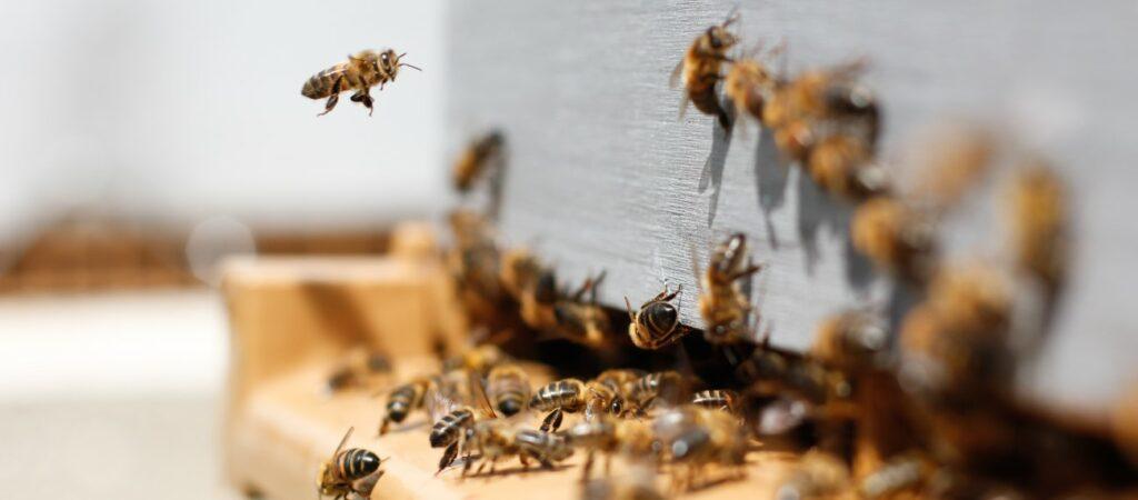 Ein Bienenschwarm fliegt und krabbelt herum.